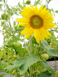 Green Tomatoes and Sunflower