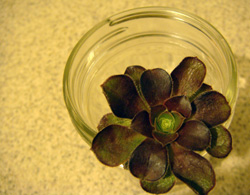 purple succulent cutting