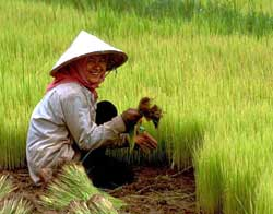 Rice Farmer in Cambodia from WikiCommons