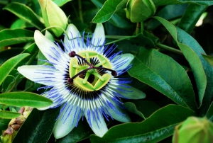 The passionflower is going off! A few fruits are appearing and the monarch butterflies can't get enough.